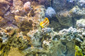 Copperband butterflyfish (Chelmon rostratus) Royalty Free Stock Photo