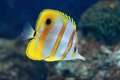 Copperband butterflyfish Royalty Free Stock Photo