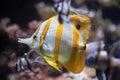 Copperband butterflyfish (Chelmon rostratus). Royalty Free Stock Photo