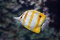Copperband butterflyfish Chelmon rostratus. Royalty Free Stock Photo