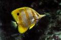 Copperband butterflyfish Chelmon rostratus Royalty Free Stock Photo