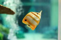 Copperband butterflyfish are found at depths of − metres either alone or in pairs these fish form monogamous pairs during Royalty Free Stock Images