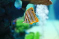 Copperband butterflyfish are found at depths of − metres either alone or in pairs these fish form monogamous pairs during Stock Images
