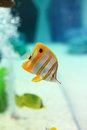 Copperband butterflyfish are found at depths of − metres either alone or in pairs these fish form monogamous pairs during Stock Photos