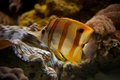 Copperband butterflyfish swimming upwards through coral reef Royalty Free Stock Photos