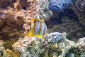 Copperband butterflyfish (Chelmon rostratus) Royalty Free Stock Photo