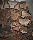 Copperhead Snake Agkistrodon Contortrix Royalty Free Stock Photo