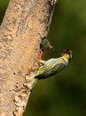 Coppersmith barbet Royalty Free Stock Photos