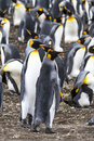 Coppie re penguins falkland islands Fotografia Stock