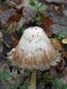 Shaggy Mane Mushroom cap drips black closeup Royalty Free Stock Photo