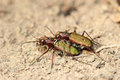 Copulating tiger beetles of macro Stock Image