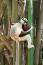 Coquerel s sifaka propithecus coquereli it is a diurnal lemur of the genus it is native to madagascar Stock Images