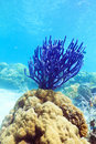 Coral Royalty Free Stock Photo