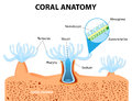 Coral anatomy vector diagram structure polyp the polyps tend to live in colonies and form the building blocks of the reef Stock Photography