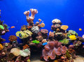 Coral aquarium photo of a tropical fish on a reef in an Stock Image