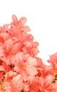 Coral Azalea Blooms On White