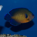 Coral Beauty Angelfish Royalty Free Stock Photo
