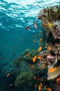 Coral colony Royalty Free Stock Photo