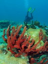 Coral with a Diver Stock Photography