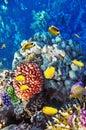 Coral e peixes no Sea.Egypt vermelho Fotos de Stock