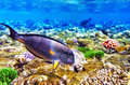 Coral and Fish-surgeon  in the Red Sea. Egypt, Africa . Stock Photos