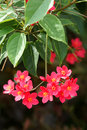 Coral flowers the close up of scientific name jatropha integerrima Royalty Free Stock Photo