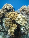 Coral garden Indonesia Royalty Free Stock Images