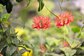 Coral hibiscus flowers of schizopetalus or or japanese lantern Stock Image