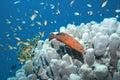 Coral Hind Stock Photos