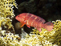 Coral Hind with fire coral Royalty Free Stock Photography
