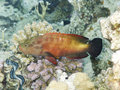 Coral Hind from red sea Stock Images