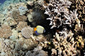 Coral reef and agel fish at the Red Sea Stock Photo
