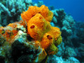 Coral reef with beautiful great orange sea sponge, underwater Royalty Free Stock Photo