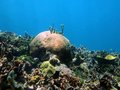Coral reef of the caribbean sea underwater landscape in a natural scene Royalty Free Stock Images