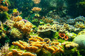 Coral reef a colorful with many different types of corals Stock Photography