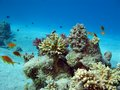 Coral reef with exotic fishes on the bottom of red sea Royalty Free Stock Photography