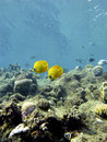 Coral reef with exotic fishes butterflyfishes in tropical sea on the bottom of Stock Photos