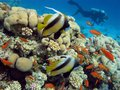 Coral reef with exotic fishes and diver on the bottom of red sea Royalty Free Stock Photo