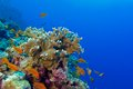 Coral reef with fire coral and exotic fishes anthias Royalty Free Stock Photo