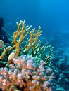 Coral reef with fire and hard corals on the bottom Royalty Free Stock Photo