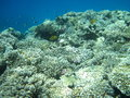Coral reef and fish beautiful in red sea africa Stock Photography