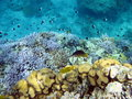 Coral reef and fish red sea africa Royalty Free Stock Image