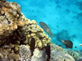 Coral reef and fish red sea africa Stock Photography