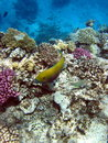 Coral reef and fish in red sea egypt Stock Image