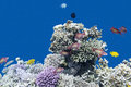 Coral reef with  fishes anthias in tropical sea, underwater Royalty Free Stock Photo