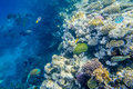 Coral reef with fishes of the red sea Royalty Free Stock Photo