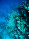 Coral reef with gorgonian Stock Photography