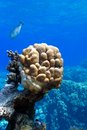Coral reef with great single honeycomb coral at the bottom of tropical sea red in egypt Royalty Free Stock Photography