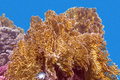 Coral reef with great yellow fire coral  - underwater Royalty Free Stock Photo