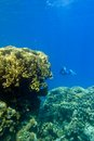 Coral reef with great yellow hard coral and diver at the bottom of tropical sea Stock Photo